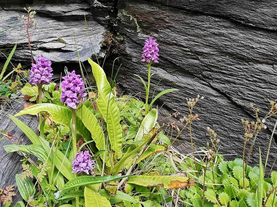 Valentia quarry Orchids